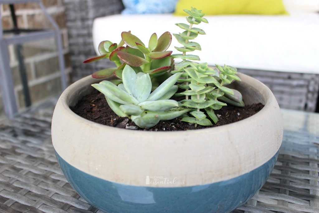 succulent plants in blue planter