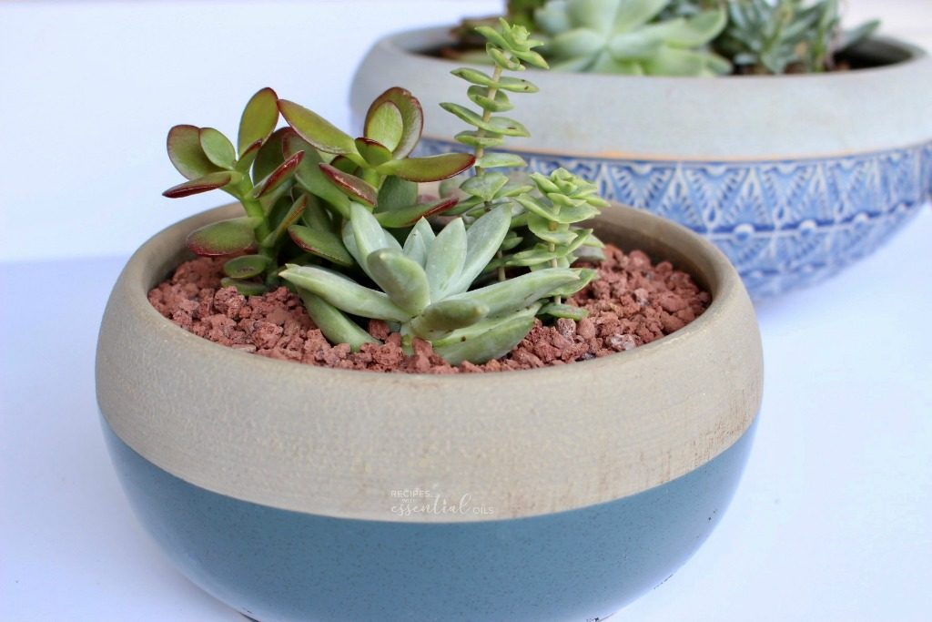 succulent plants in blue pot
