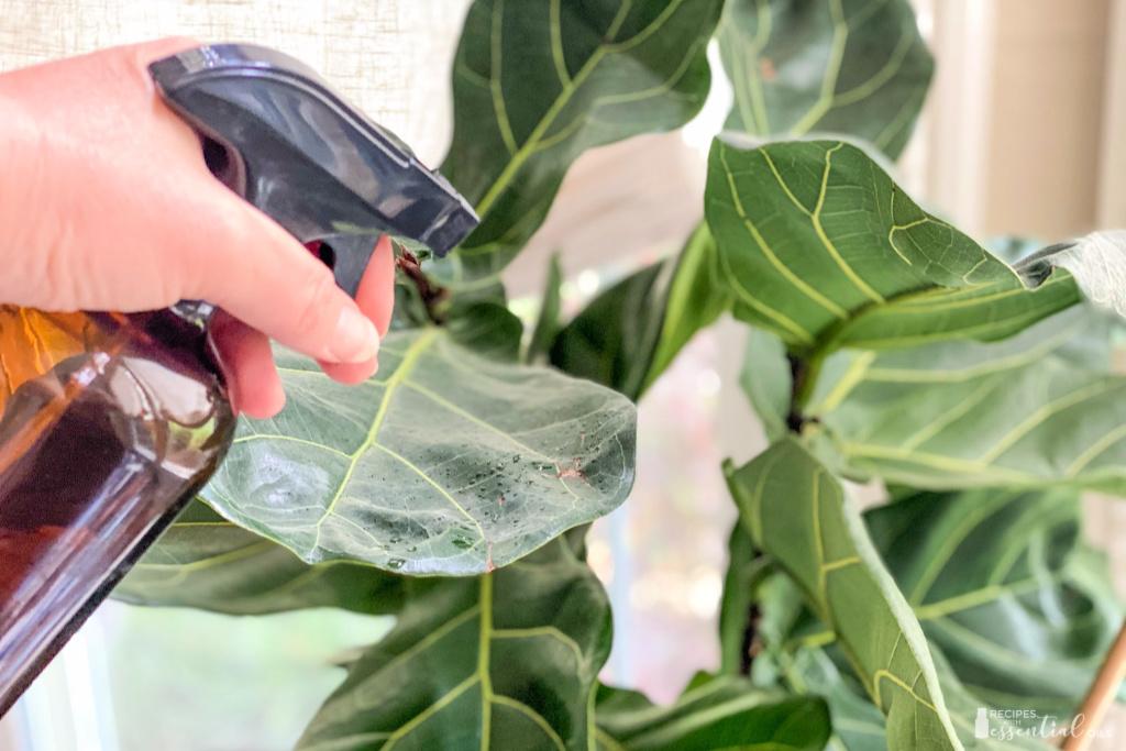 essential oil plant spray figgy leaf plant